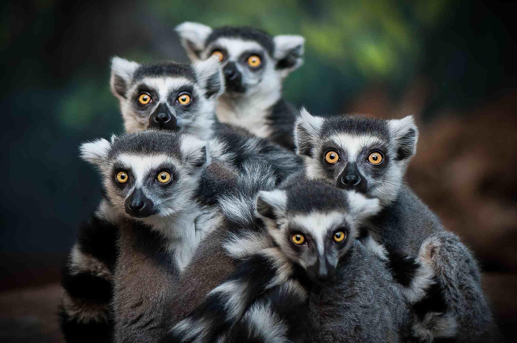A pack of Lemurs