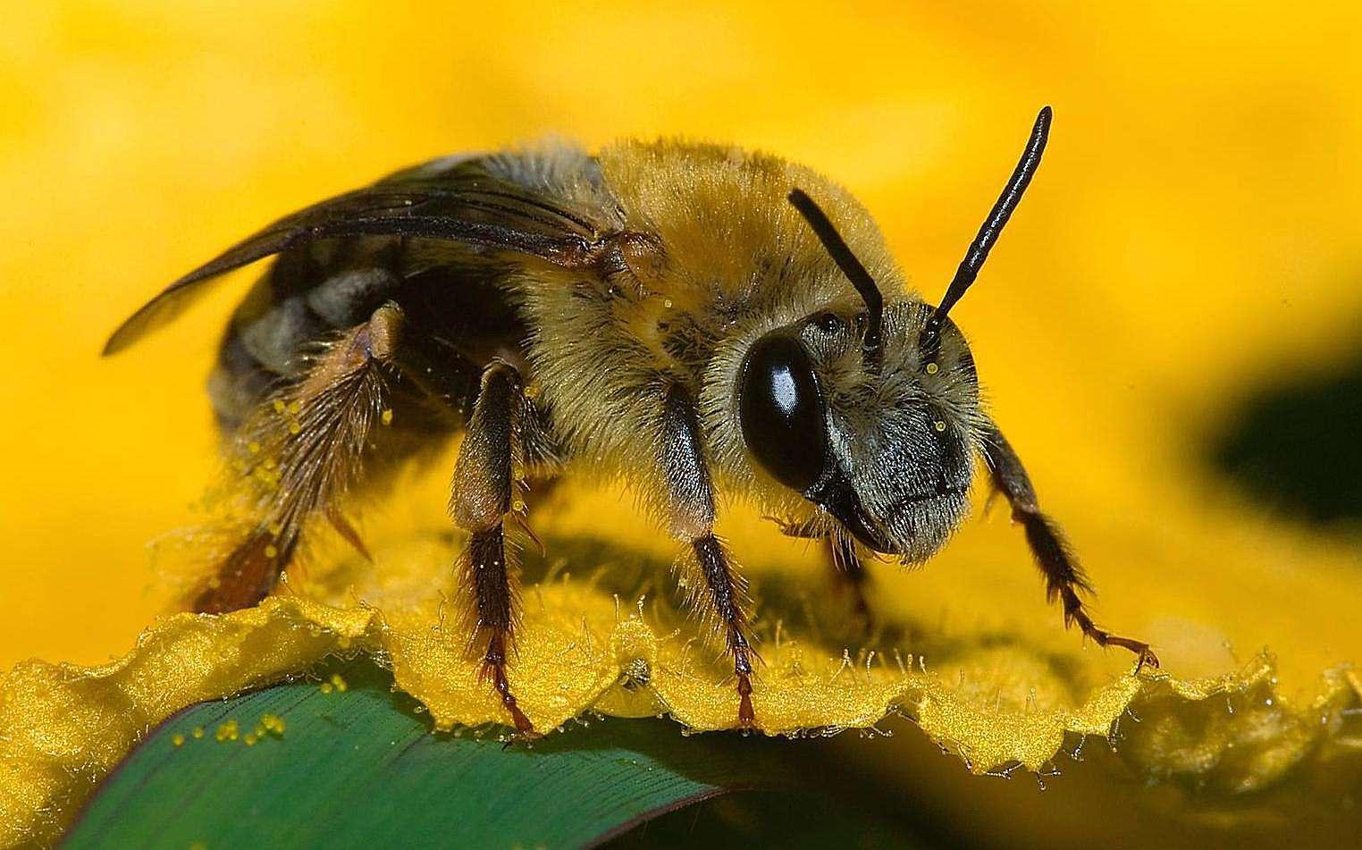 Squash bee.