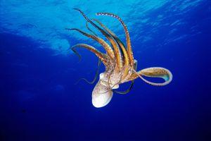 Octopus Printables