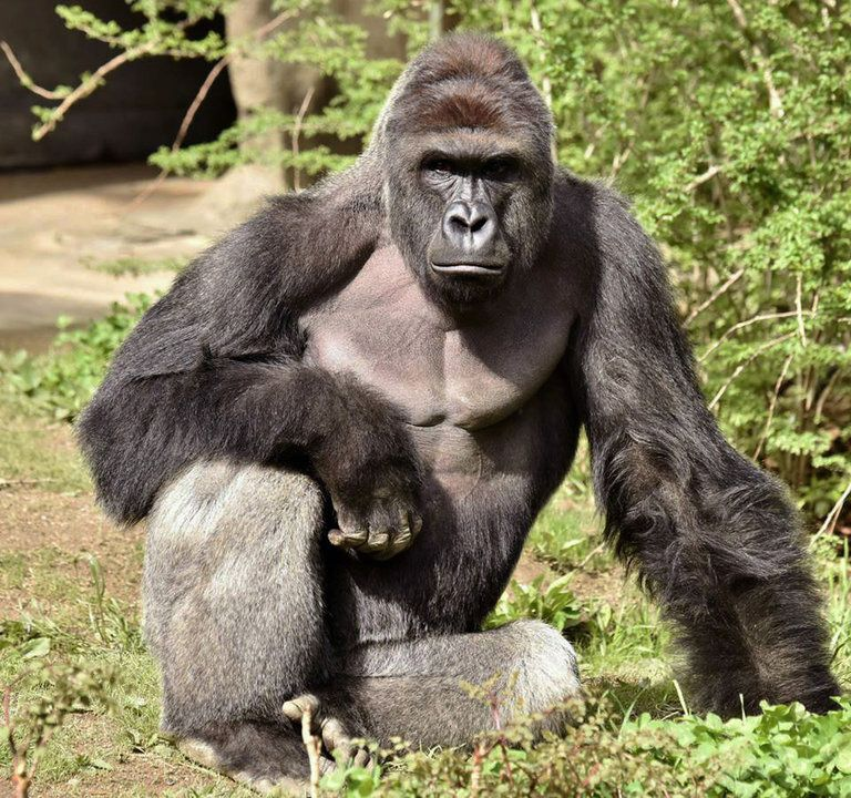 Harambe the gorilla
