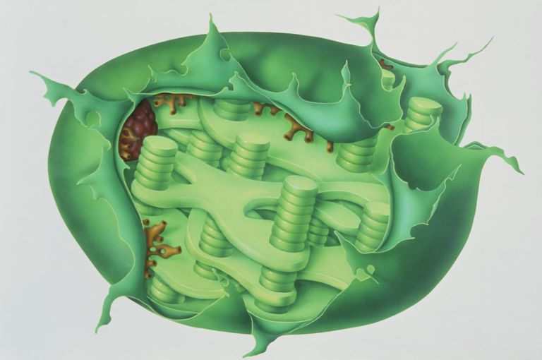 Cutaway illustration of plant chloroplast.
