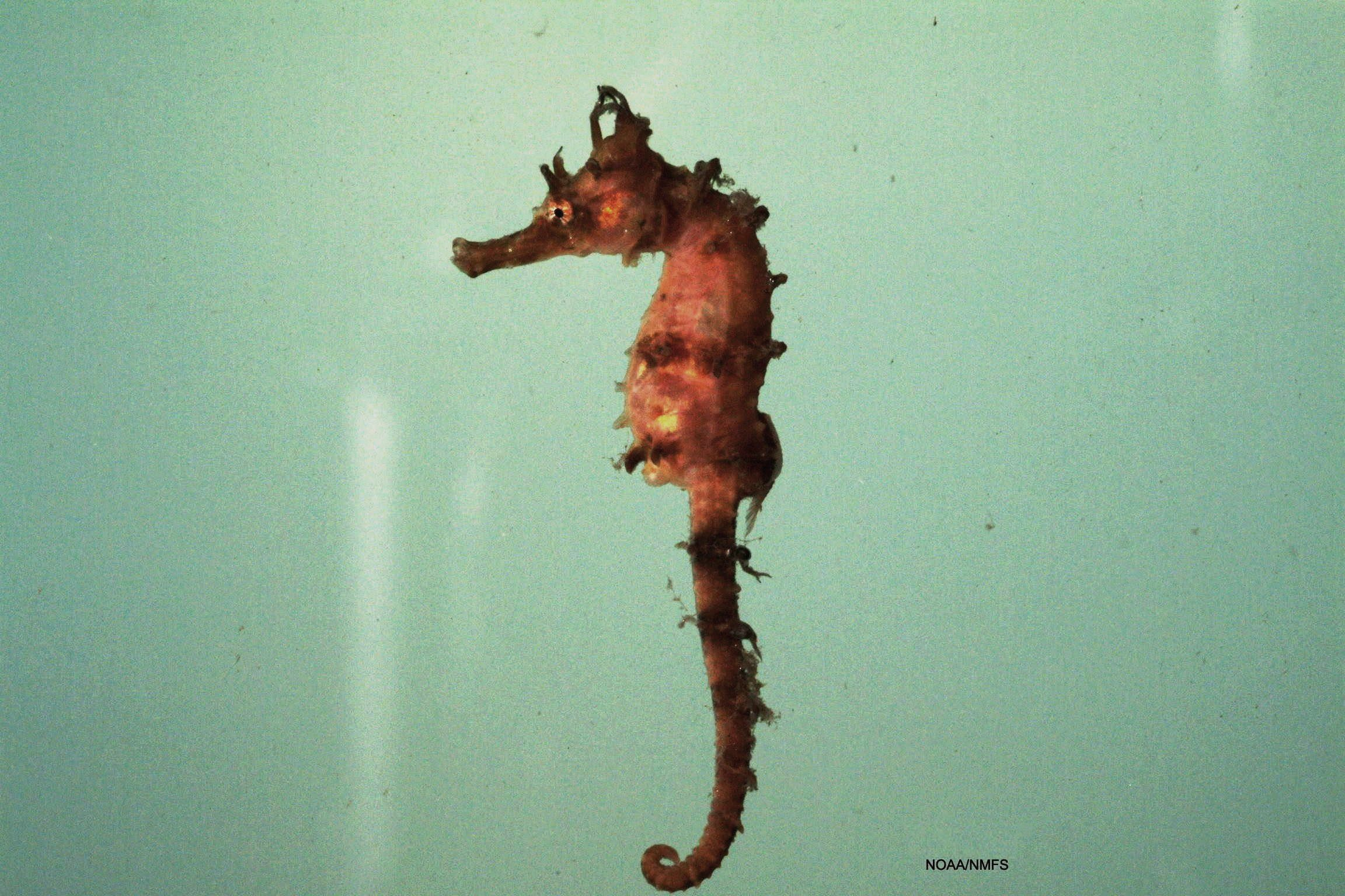 types of seahorses