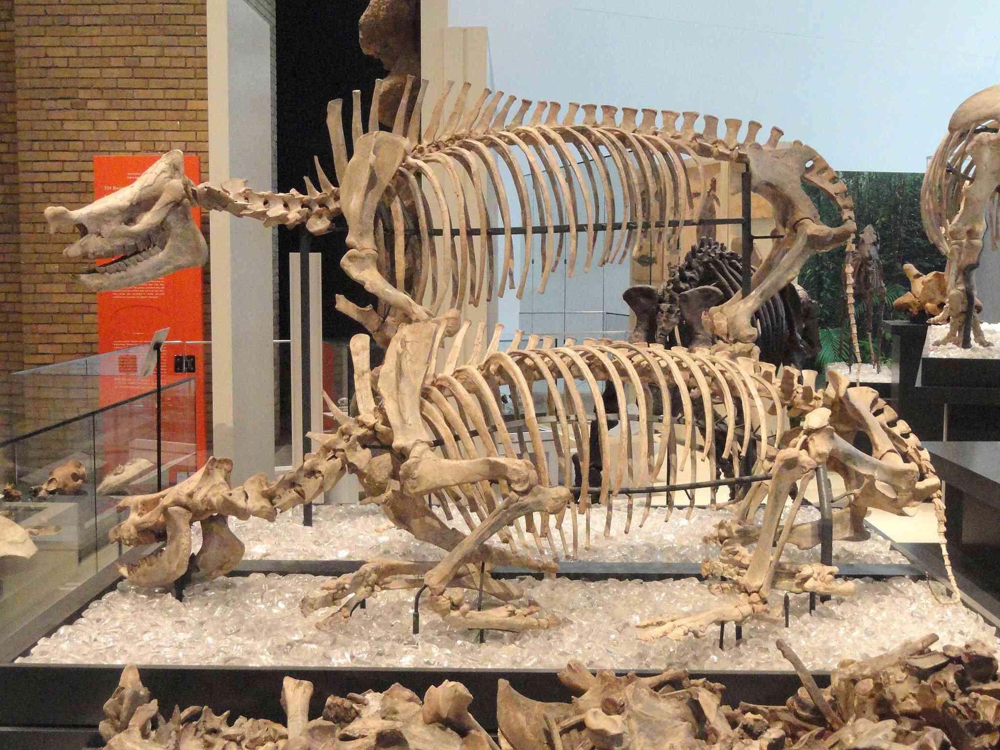 Menoceras exhibit in the Royal Ontario Museum
