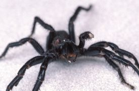 A male funnel web spider, Hexathelidae.