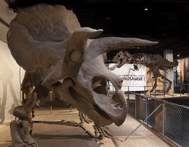 Triceratops at the National Museum of Natural History