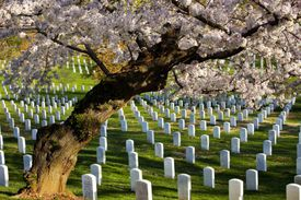 Blossoming cherry trees at Arlington National Cemetary