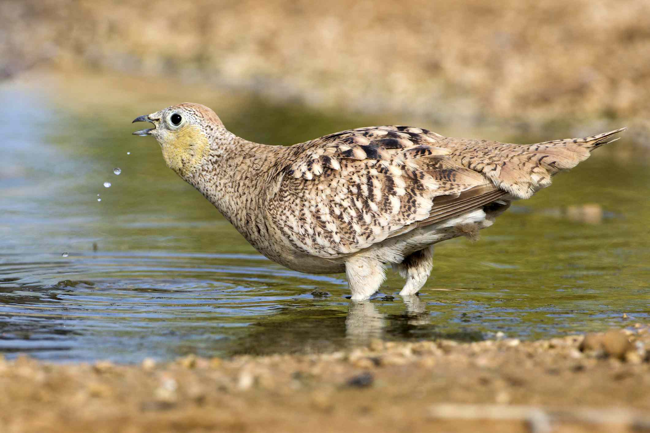 Crowned sandgrouse drinking water
