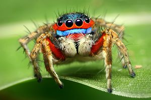 Adult male jumping spider