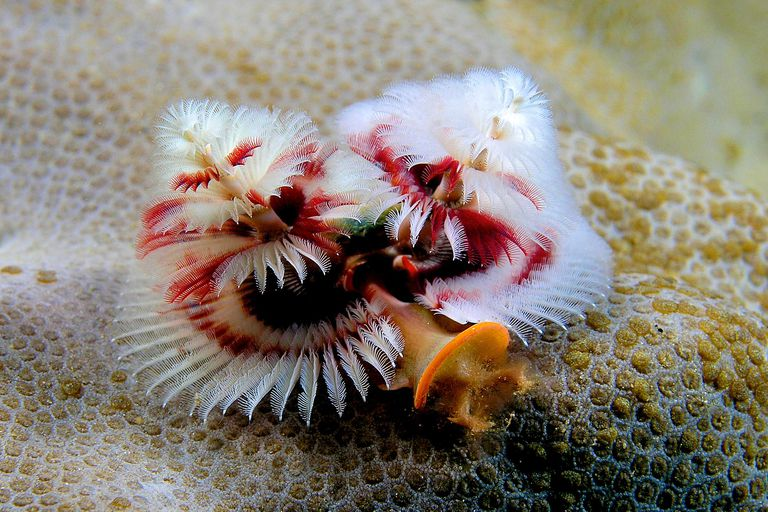 Christmas tree worm - Spirobranchus giganteus