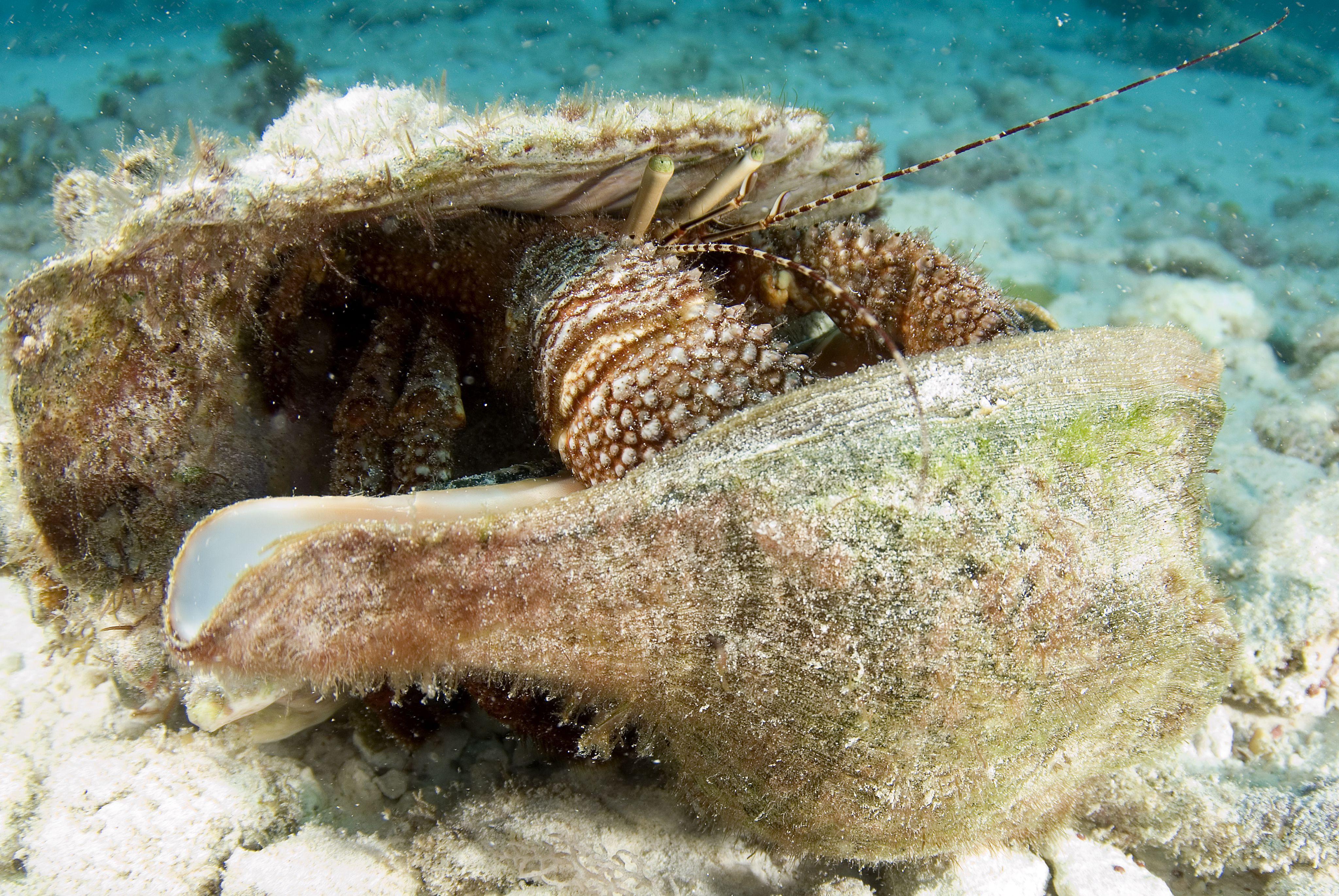 Rote Einsiedlerkrebs (Petrochirus diogenes), die Muscheln ändert, Cancun, Mexiko