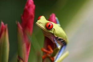 Red-eyed tree frog.