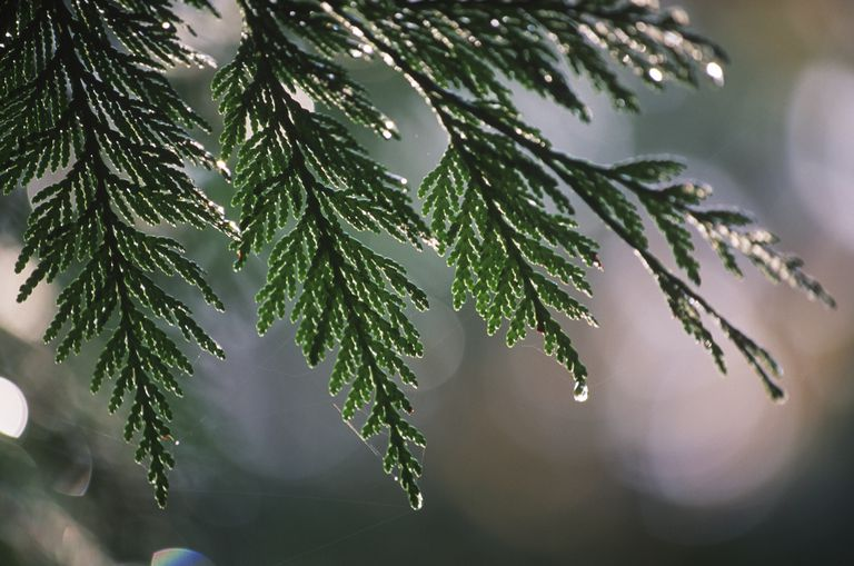 Western red Cedar Tree needles drip rain, British Columbia, Canada.