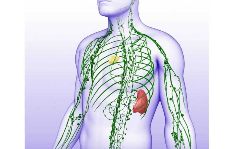 The Lymphatic System Includes the Thymus and Nodes