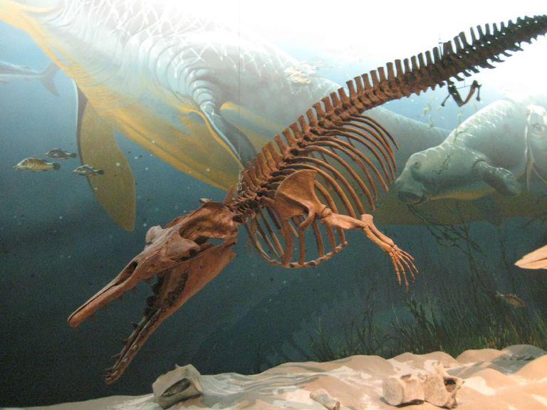 Zygorhiza kochii an early whale, 39-37 Ma Late Eocene, look, it has arms!!