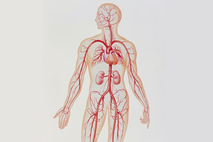 Artery Structure, Function, and Disease