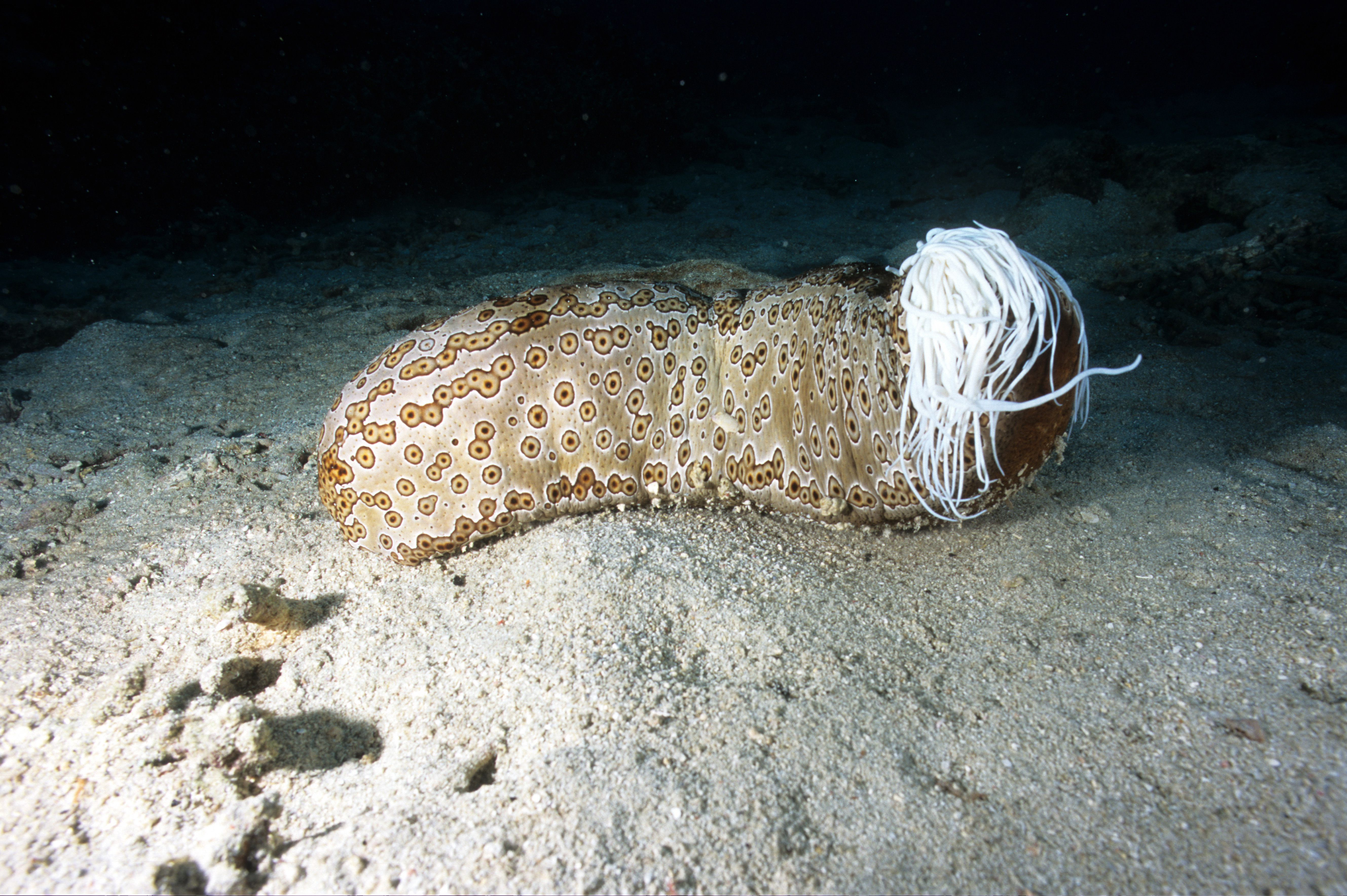 Leopard sea cucumber with toxic sticky white tubules (Cuvierian tubules) released from anus for defense
