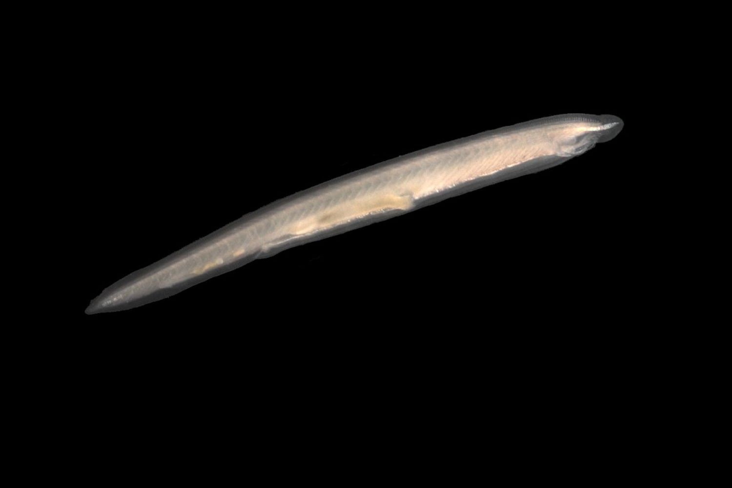 This lancelet (or Amphioxus) specimen was collected in coarse sand sediments on the Belgian continental shelf.