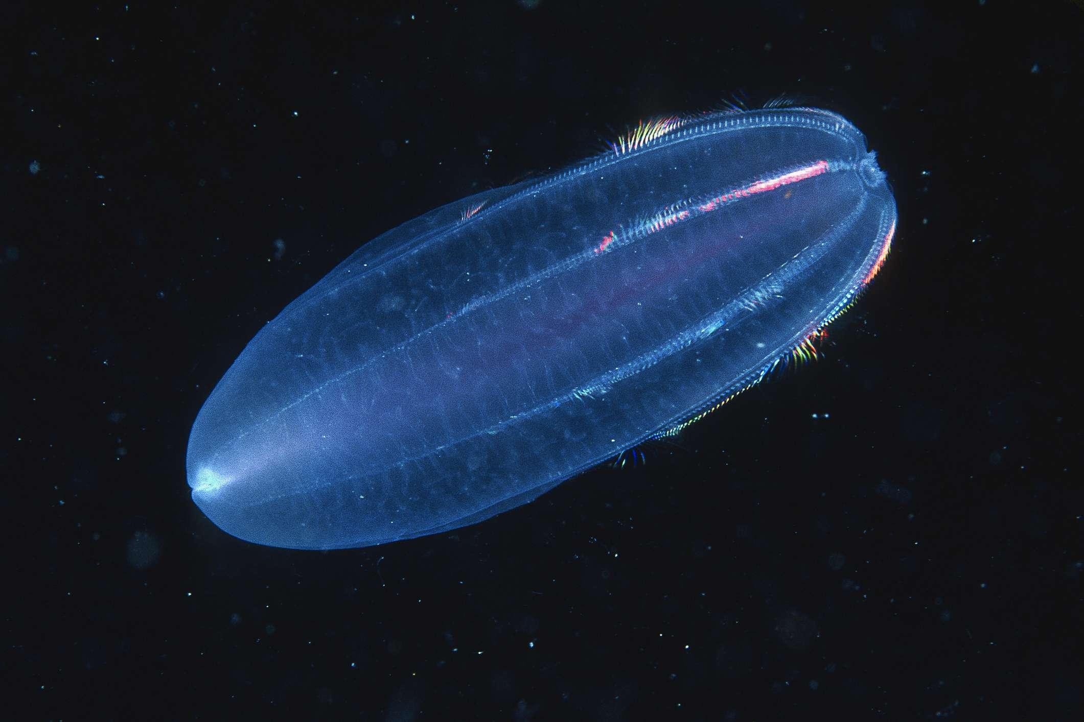 Comb jelly