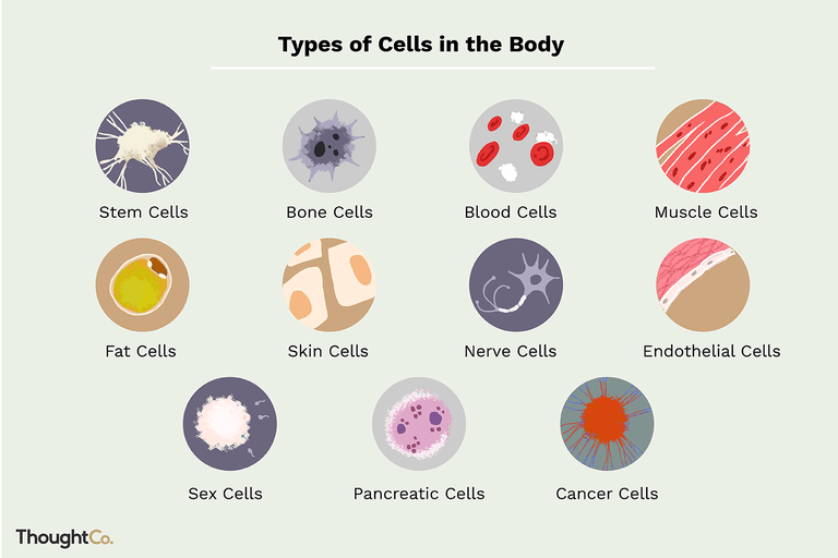 Different Cell Types In The Body