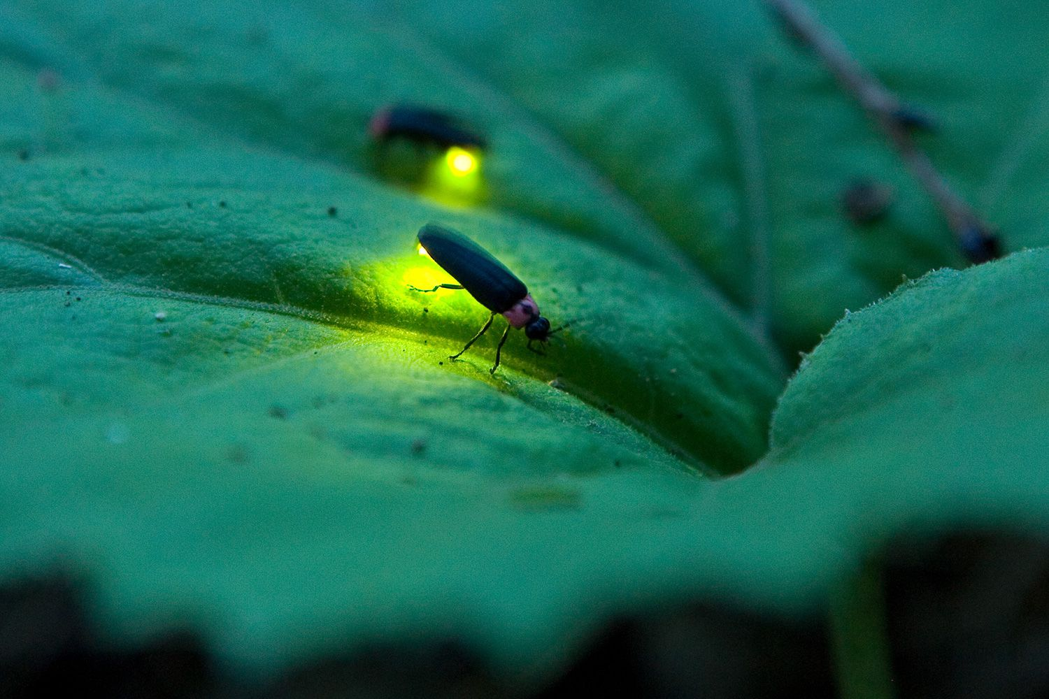 firefly insect information - HD 1500×1000