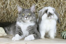 hyponyms - cat and rabbit