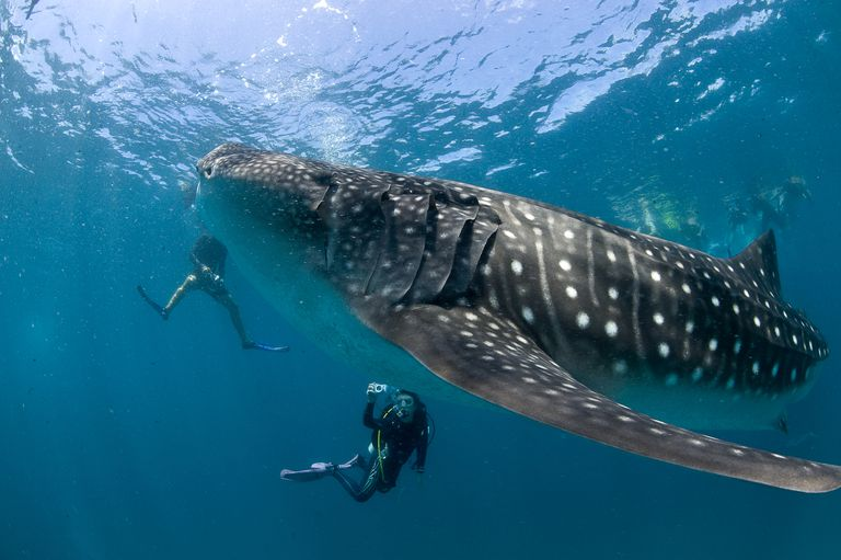 Divers with whale shark