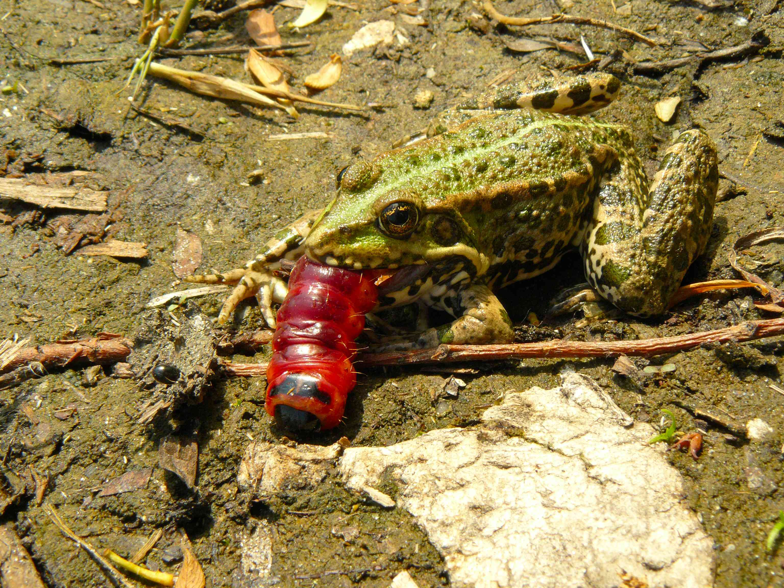 frog swallowing red caterpillar whole