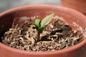 Plumeria seedling