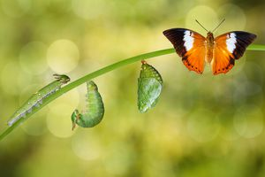 Life cycle of Tawny Rajah butterfly from caterpillar to pupa to butterfly.