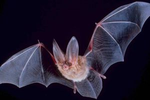 Big-eared bat with its wings stretched out