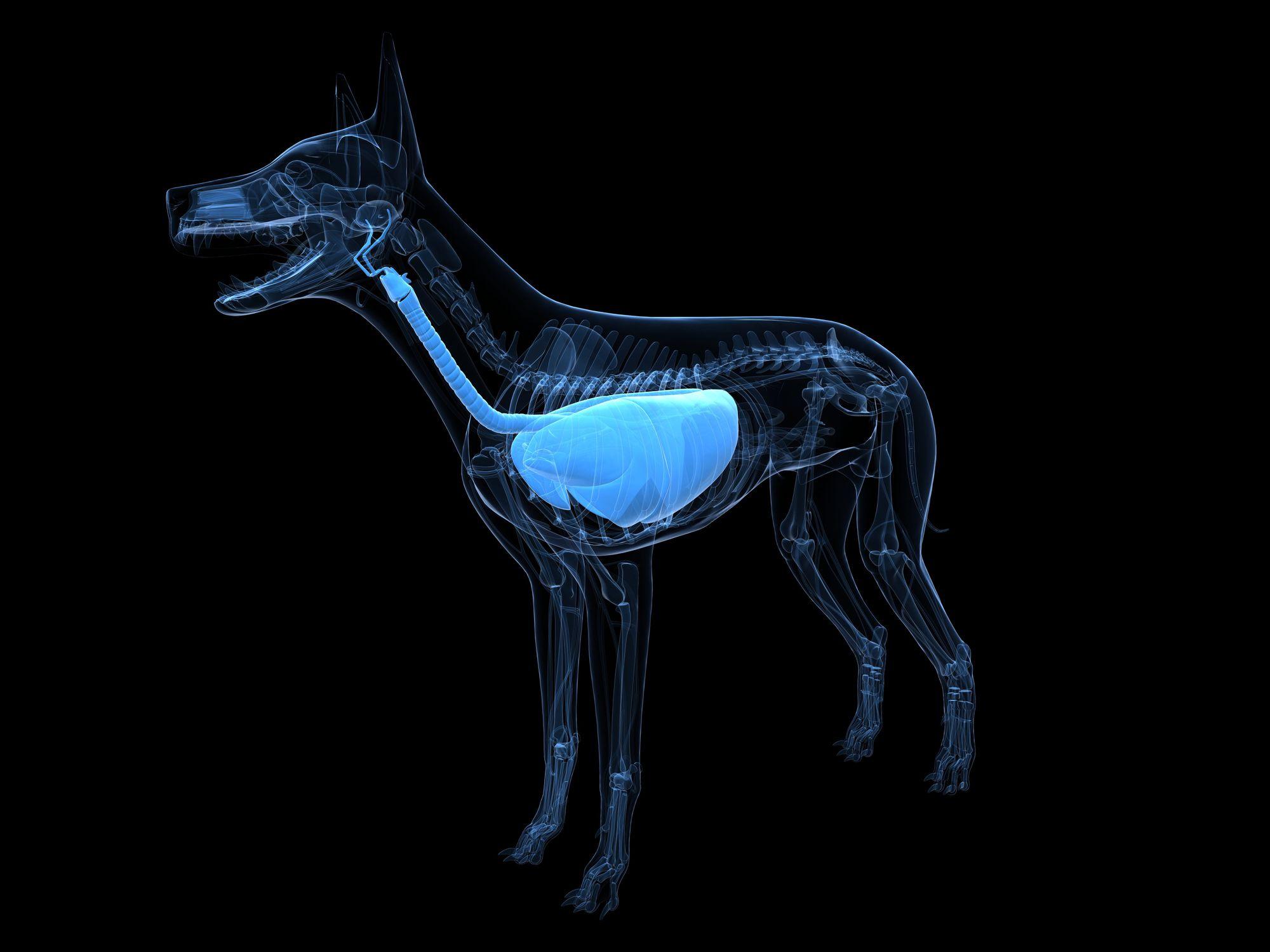 Dog respiratory system