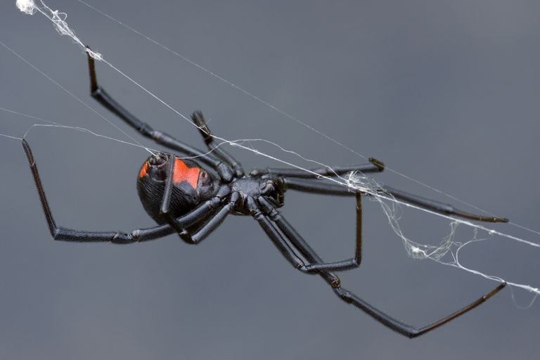An adult female black widow spider may (or may not) have a red hourglass on her abdomen.