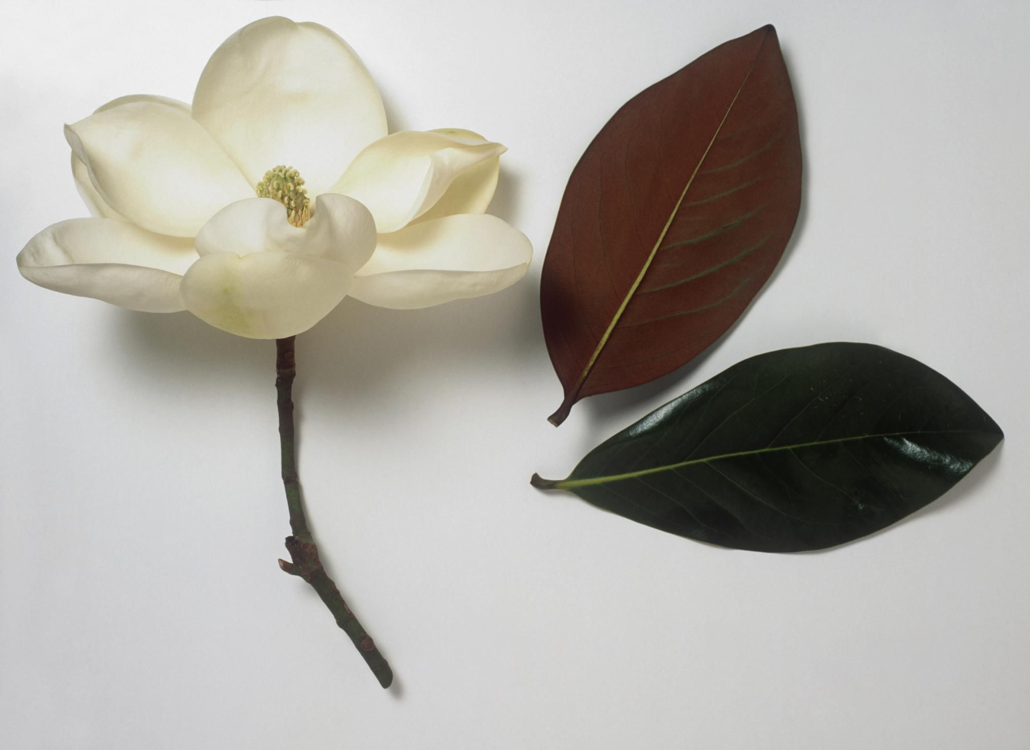 Tree Leaf Margins Serrated Vs Smooth Tree Leaf Key