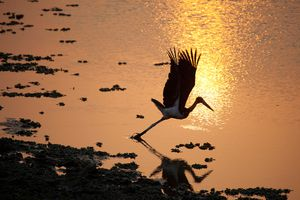 A stork on the water