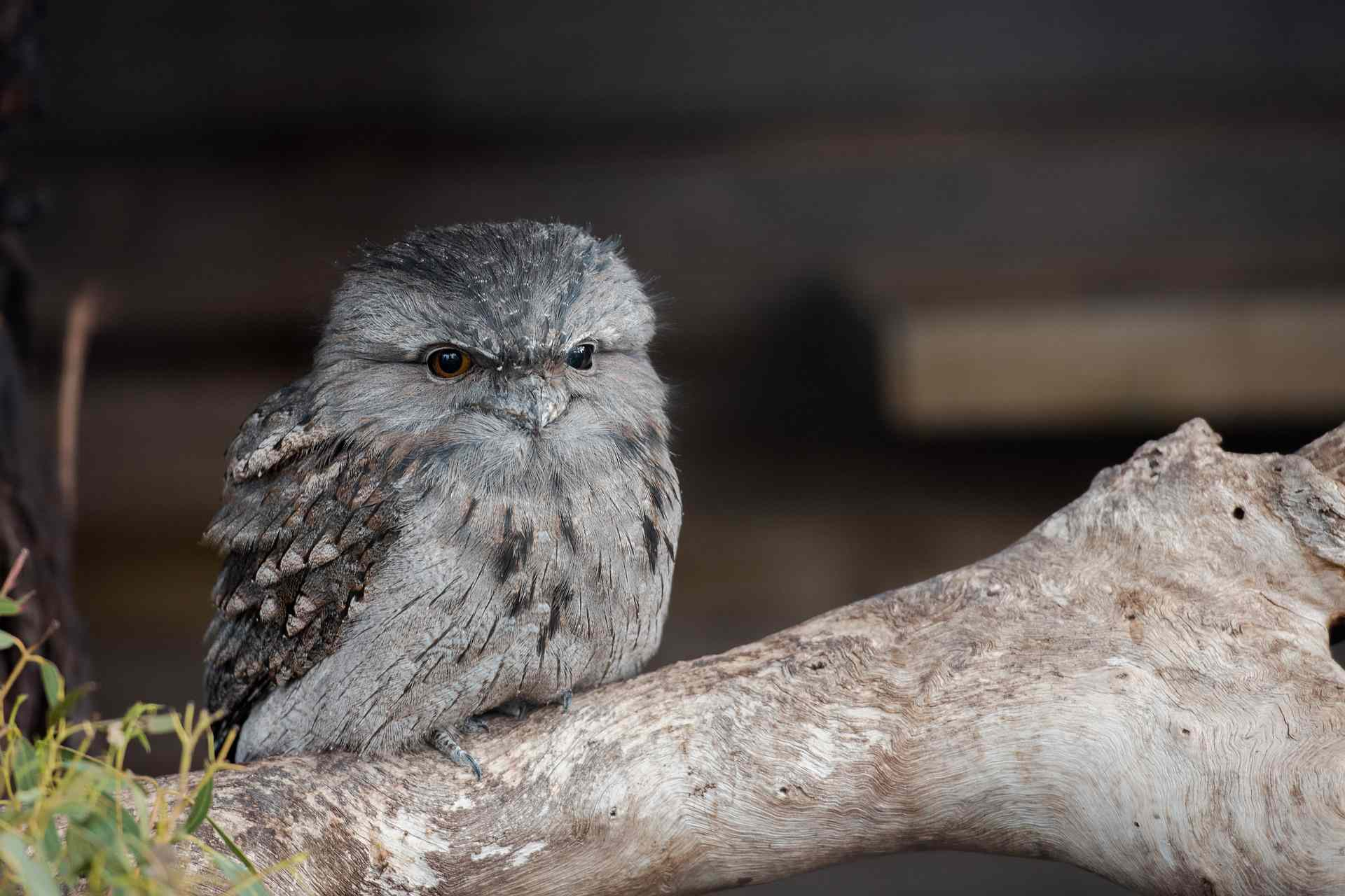 Frogmouth owl sitting on a branch
