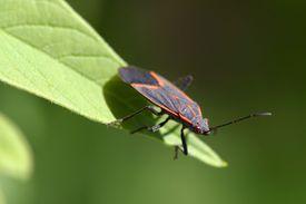 A maple bug (Boisea trivittata)