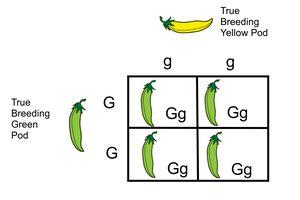 Monohybrid Cross Between True Breeding Green and Yellow Pod Pea Plants