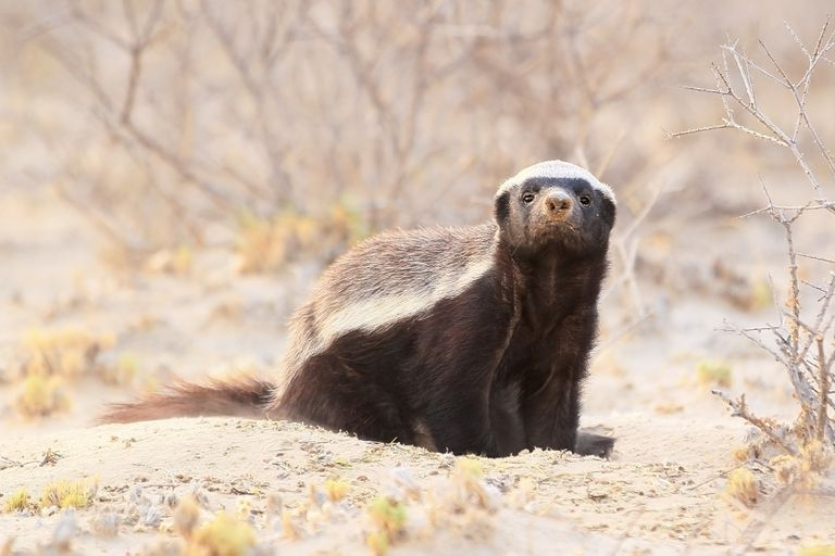 Honey badger or ratel