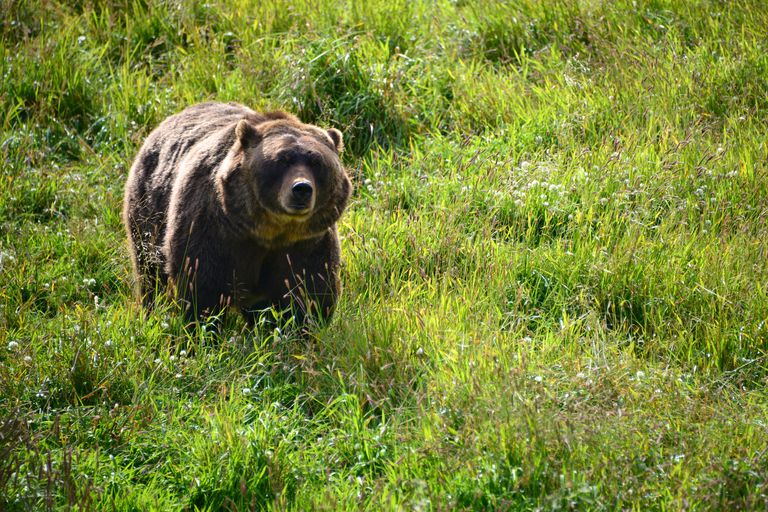 Grizzly bear in wilderness, Anchorage, Alaska, America, USA