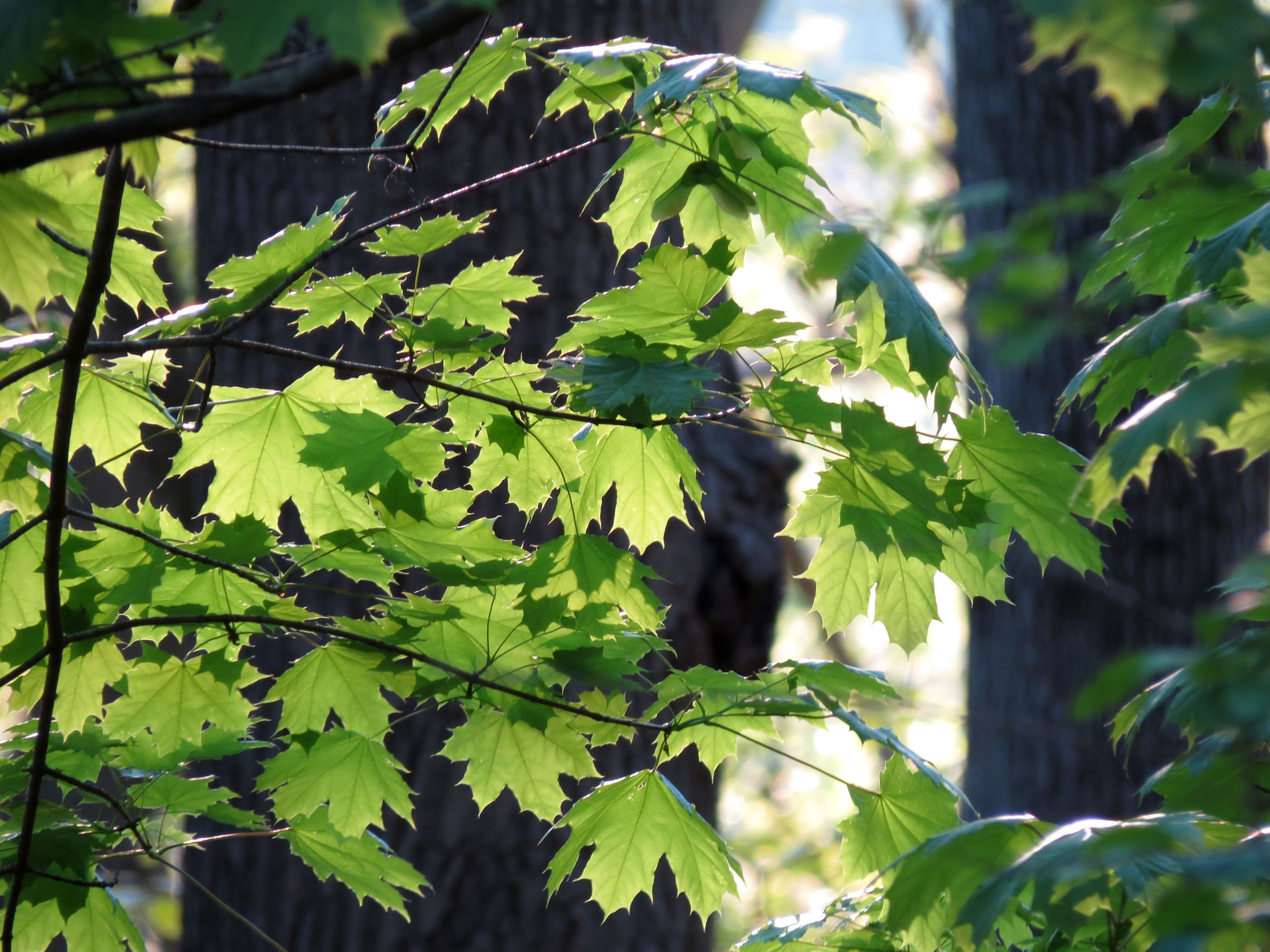 How to identify deciduous trees by their leaves mightylinksfo