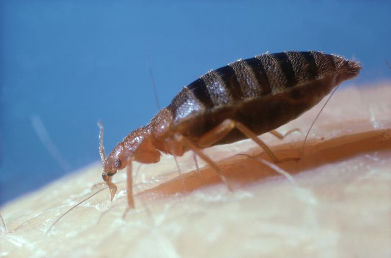 A bed bug feeding