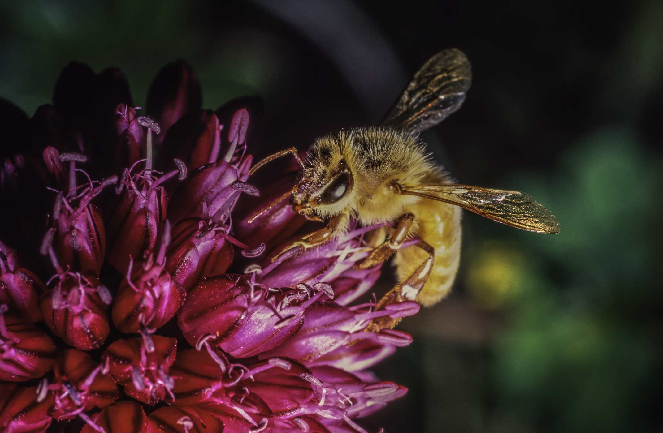 Honeybee searching for nectar on a vivid magenta flower