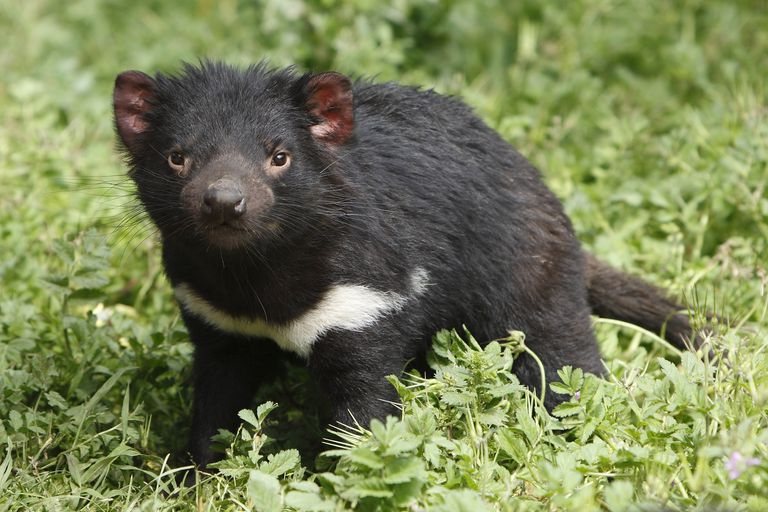 Tasmanian Devil Facts