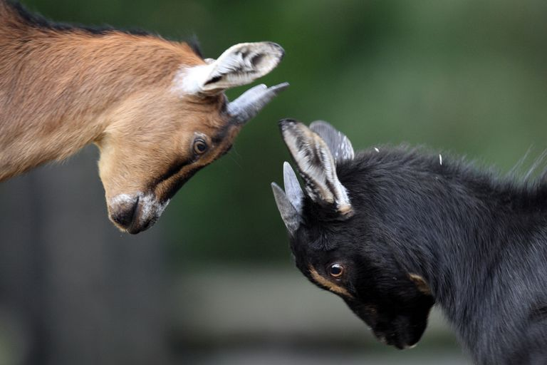 Pair of juvenile African Pygmy goats