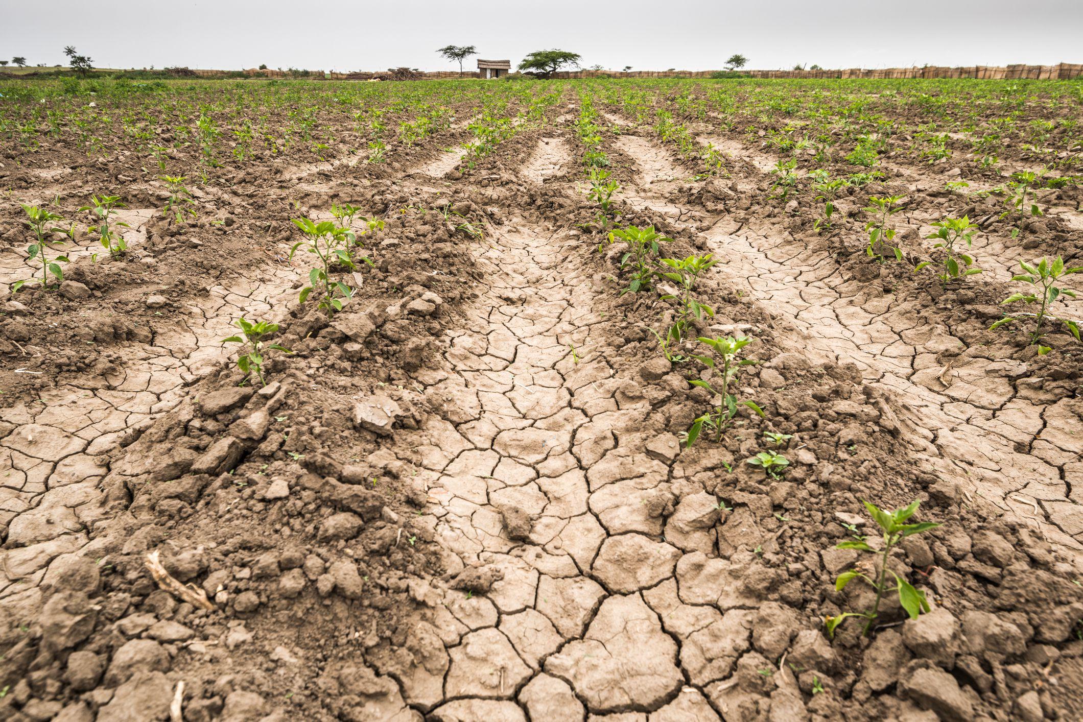 Arid Crop