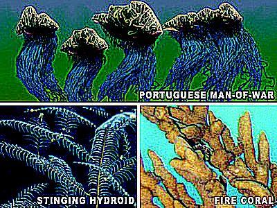 stinging hydroids, portuguese man of war, fire coral, stinging plant, marine