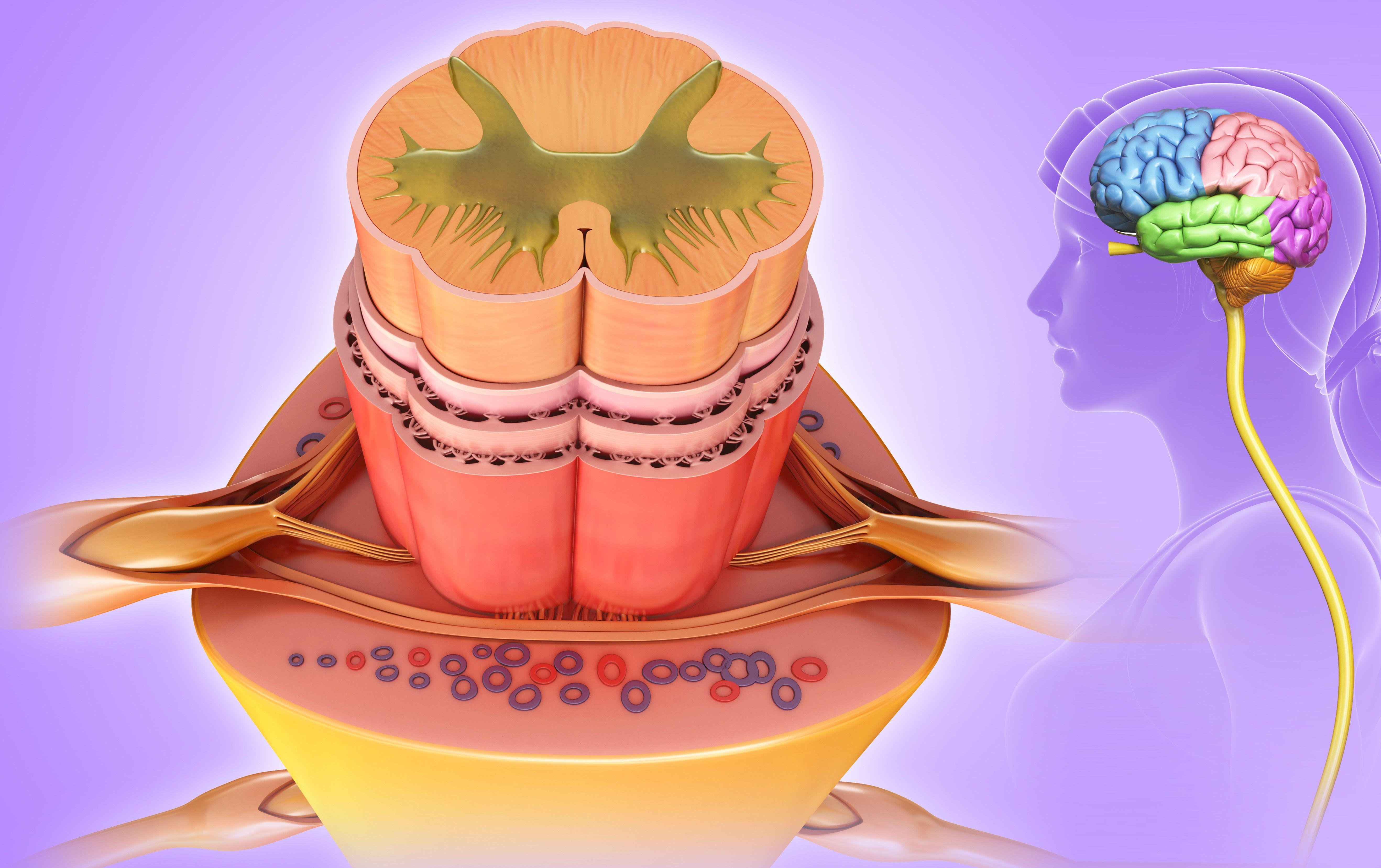 Spinal cord anatomy, illustration