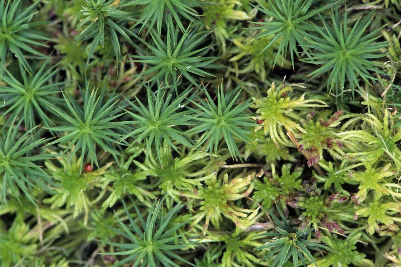 Hairy Cap adn Bog Moss