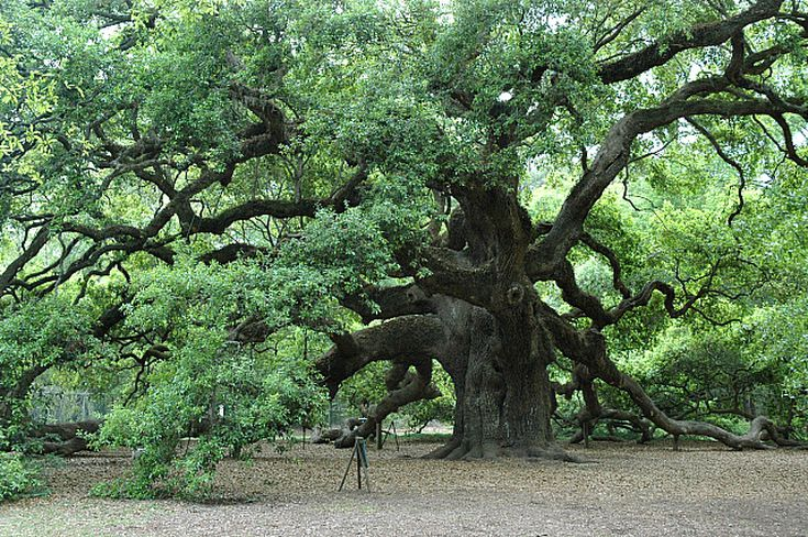 Oak Is The Official Us National Tree