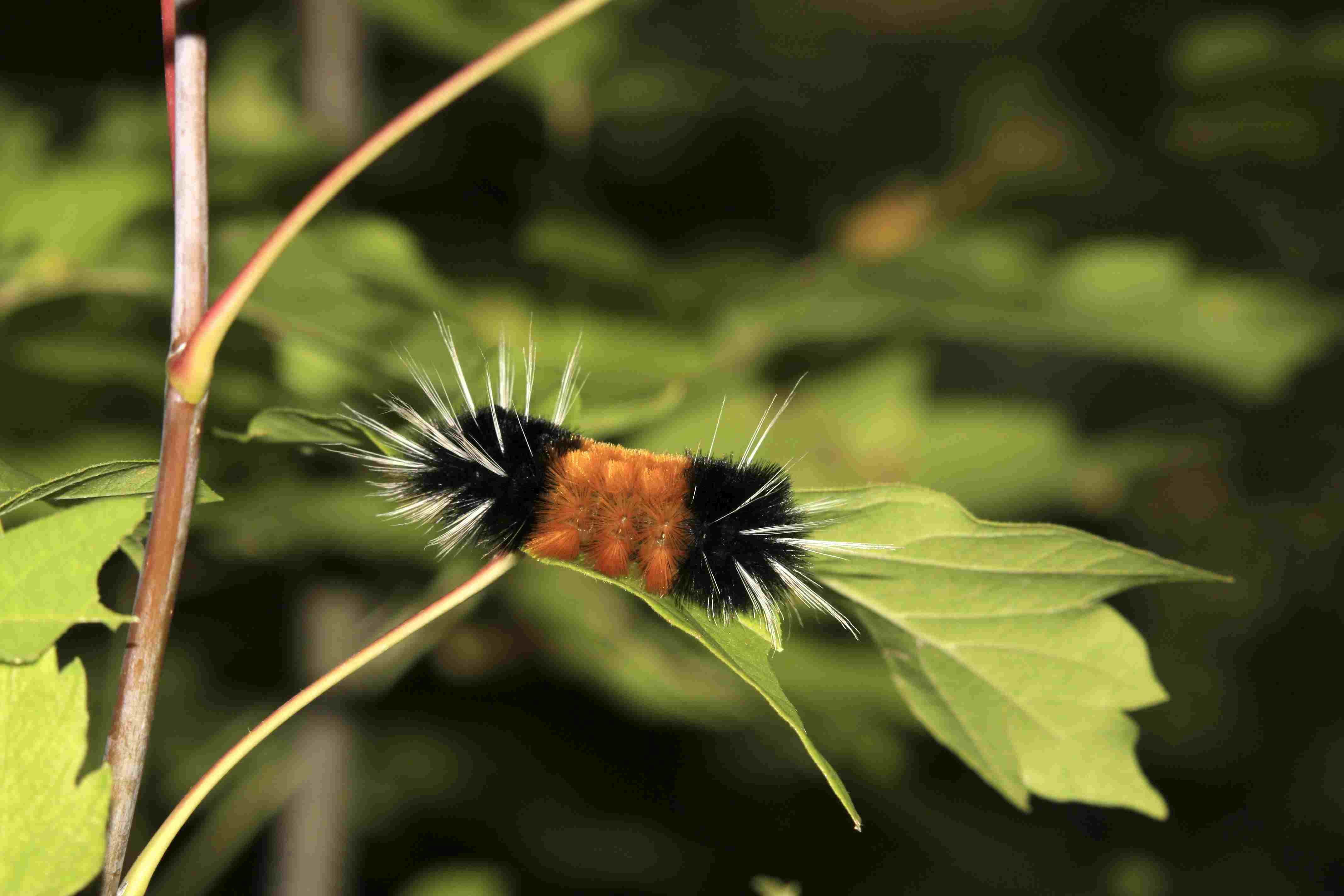 Woolly bear caterpillar moth (Isia isabellea) Montana, USA